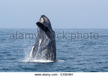 A breaching humpback whale emerging from beautiful blue ocean waters waving its flipper as if to say hello - Stock Photo