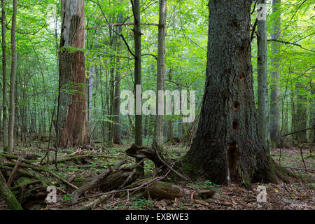 Dead oak tree without bark in morning against juvenile deciduous stand of Bialowieza Forest and old spruce tree - Stock Photo