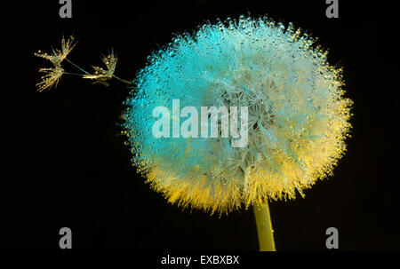 Dandelion flower (Taraxacum) in dew in the morning.(Asteraceae).(Taraxacum officinale). - Stock Photo