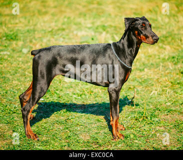 Young, Beautiful, Black And Tan Doberman Standing On Lawn. Dobermann Is A Breed Known For Being Intelligent, Alert, - Stock Photo