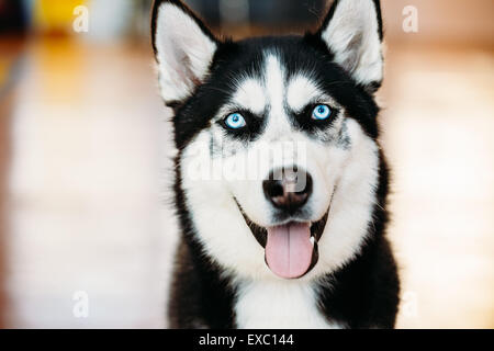 Close Up Head Young Happy Husky Puppy Eskimo Dog With Blue Eyes - Stock Photo