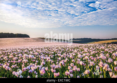 Field of cultivated white poppies near Rockley in Wiltshire. - Stock Photo