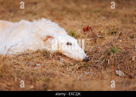 White Russian Wolfhound Dog, Borzoi, Russian Hunting, Sighthound, Russkaya Psovaya Borzaya, Psovoi. Spring Autumn - Stock Photo