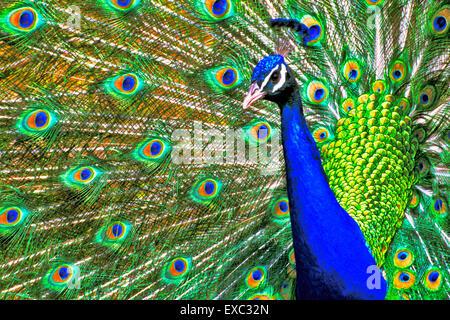 Male Peacock displaying closeup - Stock Photo