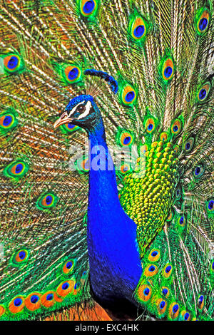 Indian Peacock male in courtship display, closeup - Stock Photo