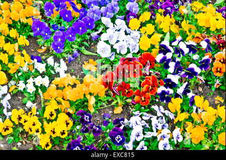 Colorful pansies as a background image - Stock Photo