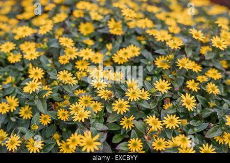 Creeping zinnias zinnia rich yellow flowers close up Sanvitalia speciosa Santiago yellow - Stock Photo