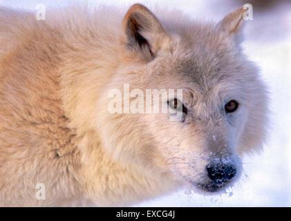 Arctic Wolf watching, portrait closeup
