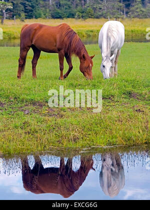 Arabian Horses chestnut and white grassing by creek, reflection in water - Stock Photo