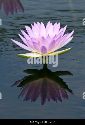 Tropical Waterlily - Nymphaea Peach Blow - Stock Photo