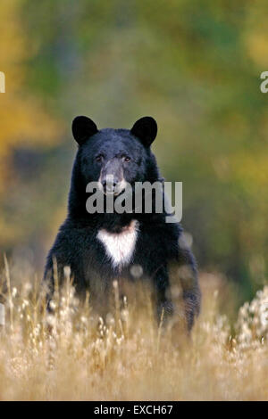 Big Black Bear searching for Food in meadow Stock Photo