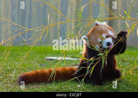 The panda red or lesser panda (Ailurus fulgens) - Stock Photo
