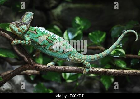 Veiled chameleon (Chamaeleo calyptratus), also known as the Yemen chameleon at Liberec Zoo in North Bohemia, Czech - Stock Photo