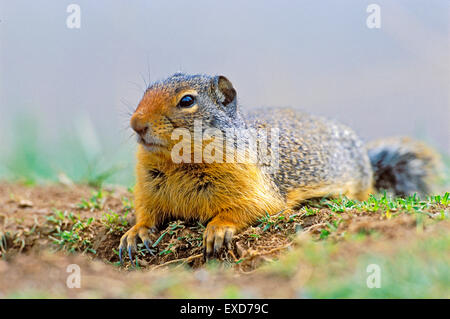 Columbian Ground Squirrel laying in grass at den site. - Stock Photo