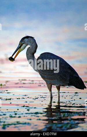 Great Blue Heron hunting fish in tide water ( Ardea herodias ) Stock Photo