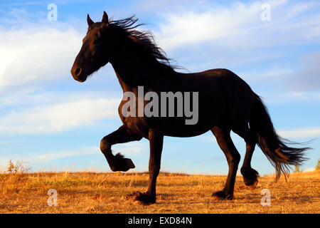 Friesian Stallion trotting in pasture, evening Sunlight - Stock Photo