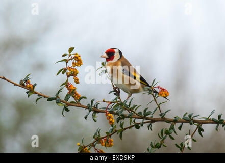 European Goldfinch Carduelis carduelis adult male perched - Stock Photo