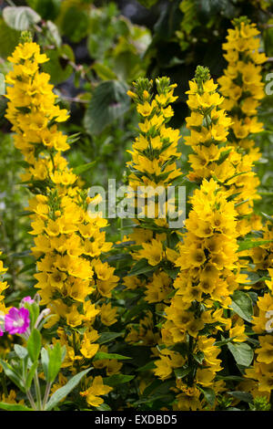 Yellow flowers of the spotted loosestrife, Lysimachia punctata - Stock Photo