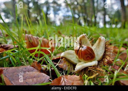 Sweet Chestnut Nuts; Castanea sativa Cornwall; UK - Stock Photo