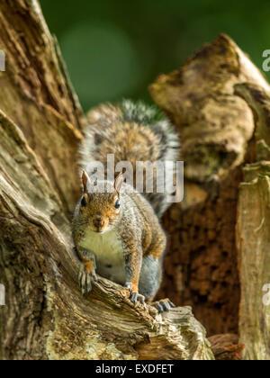 Single Grey Squirrel (Sciurus carolinensis) foraging in natural woodland countryside setting. Upright, peering forwards. - Stock Photo