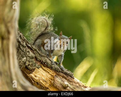Single Grey Squirrel (Sciurus carolinensis) foraging in natural woodland countryside setting. 'Posing on a tree - Stock Photo