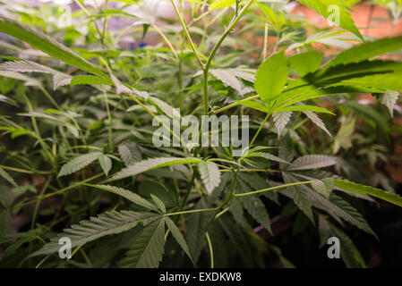 Marijuana Grow Op Leafs - Stock Photo