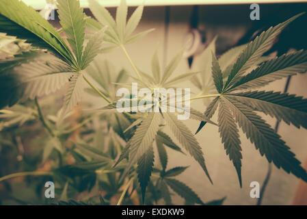 Marijuana Leafs Grow Op - Stock Photo