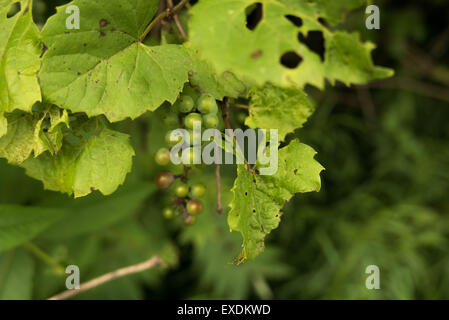 Wild Green Grapes - Stock Photo