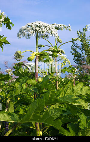 the cow parsnip plant - Stock Photo
