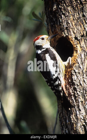 Middle-spotted Woodpecker (Dendrocopos medius) adult at nest hole Lesvos Greece - Stock Photo