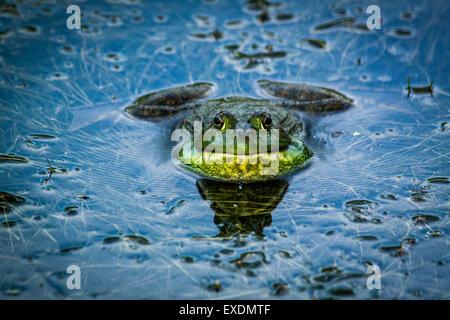 Bullfrog (Rana catesbeiana), Inniswood Metro Garden, Westerville, Ohio. - Stock Photo
