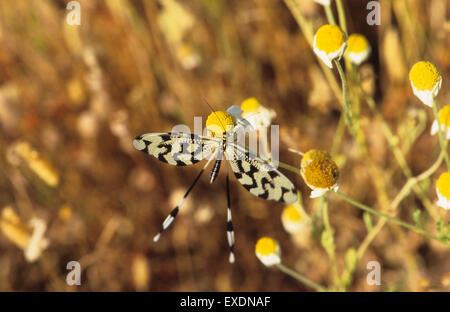 Thread Lacewing (Nemoptera sinuata) Lesbos Greece