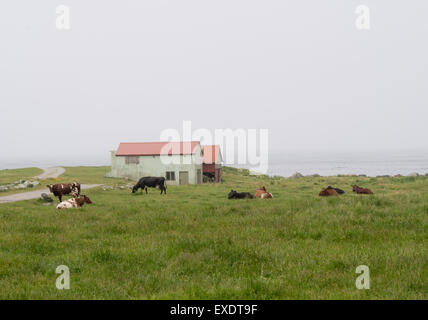 Cows grazing on the North sea coast of Jaeren Norway,  grass, cows and outbuildings, horizon blurred by fog - Stock Photo