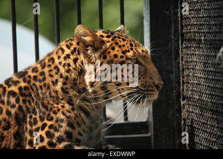 North-Chinese leopard (Panthera pardus japonensis) at Liberec Zoo in North Bohemia, Czech Republic. - Stock Photo