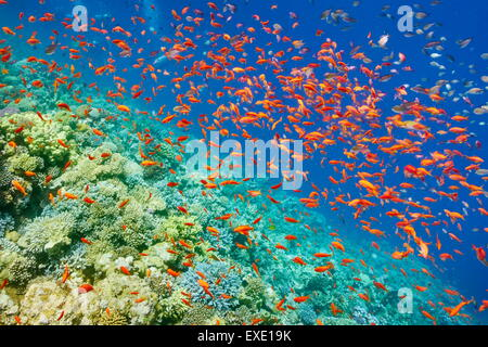 Underwater picture, shoal of fish over the coral reef in Red Sea, Egypt - Stock Photo