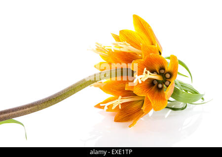 Orange Imperial Crown (Fritillaria Imperialis) isolated on white background - Stock Photo