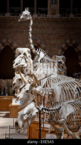 Mammal skeletons on display at the Oxford Museum of Natural History - Stock Photo