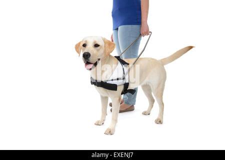 Guide Dog In Training Vest Uk