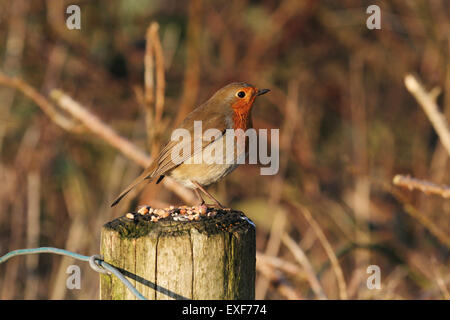 Robin on a fence post - Stock Photo