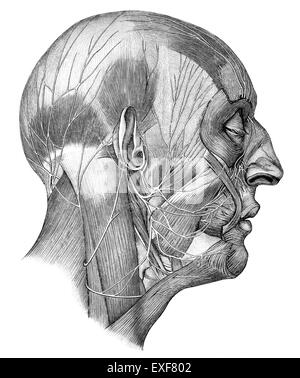 Human head with Cranial nerves - Stock Photo