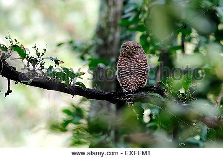 Asian barred owlet Glaucidium cuculoides - Stock Photo
