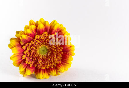 Single orange and red chrysanthemum flower on a white background - Stock Photo