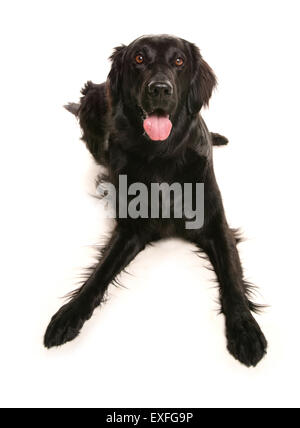 Flat coated retriever Single adult laying in a studio - Stock Photo