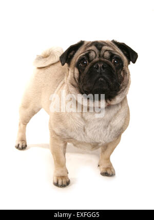 Pug Single adult dog in a studio - Stock Photo