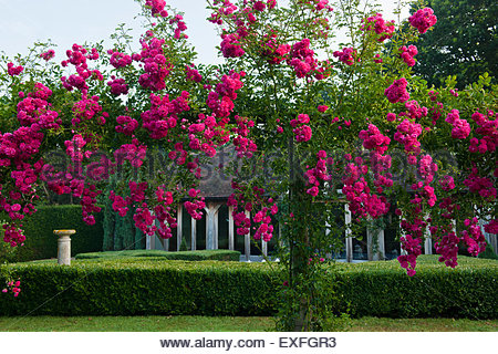 climbing rose rosa 39 excelsa 39 stock photo royalty free. Black Bedroom Furniture Sets. Home Design Ideas
