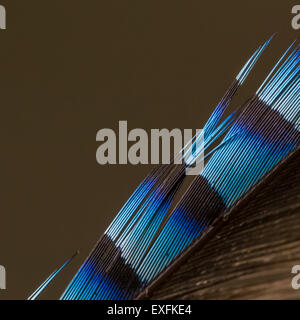 Close up of a jay's feather, UK - Stock Photo