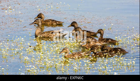 Female duck and her nine full grown ducklings forming a close knit family group swimming through water crowfoot - Stock Photo