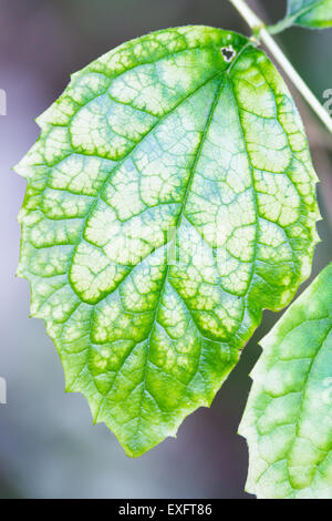 A Single Green Leaf with Visible Large Veins and Blurry Background - Stock Photo