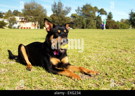 Australian Kelpie Dog lying on grass at the park with a ball - Stock Photo