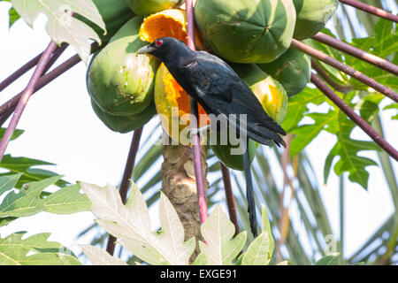 Indian Male Koel (Eudynamys, Scolopacea) - Stock Photo